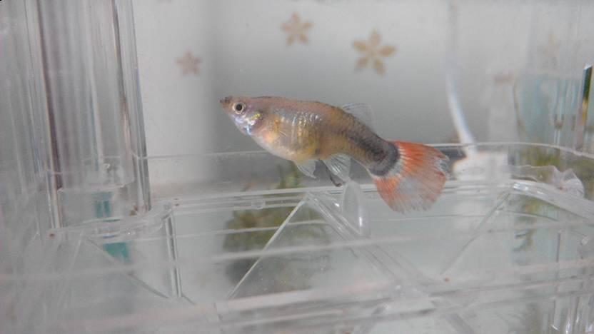 热带鱼红箭图片,热带鱼红箭取分高旗与普通