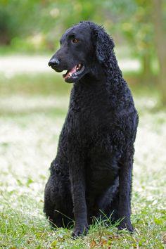 和拉布拉多很像的狗