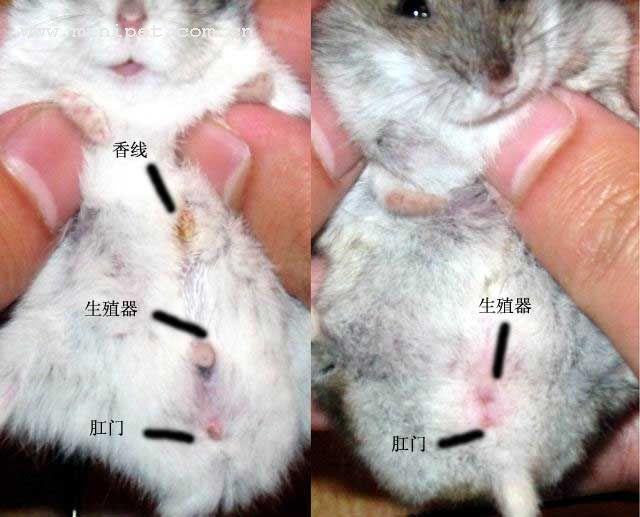 同问 仓鼠怎么分公母,希望有图比较图片