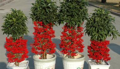 盆栽观果植物