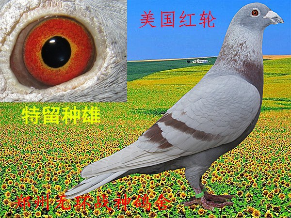 鸽子鸽过后鸟类图示鸟动物600_450为何教学咬蚊子会痒图片