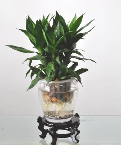 观音竹可以土栽培