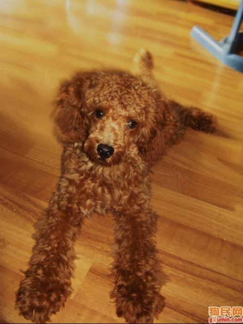 红色泰迪犬图片