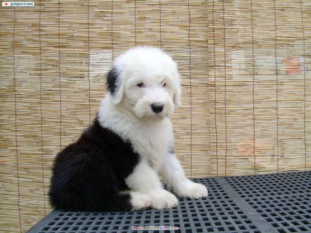 多乐士狗是什么品种