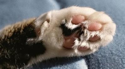 猫的脚丫有什么