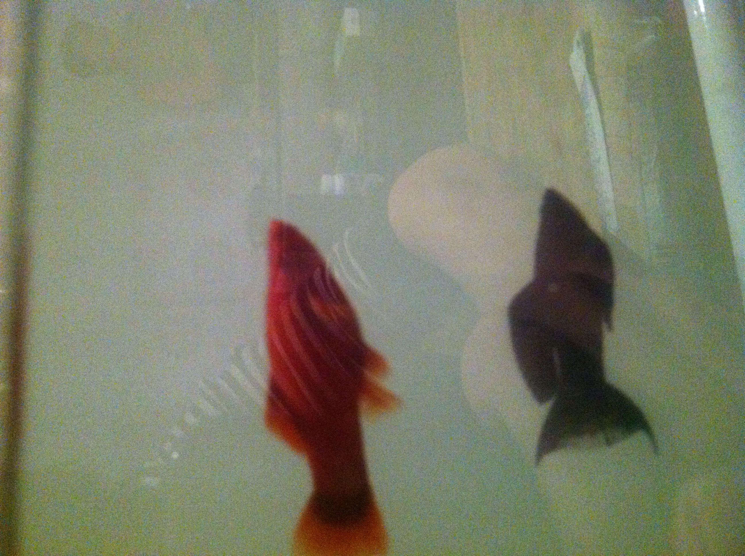 红箭鱼下崽 红箭鱼多长时间下崽 红箭鱼下崽前兆