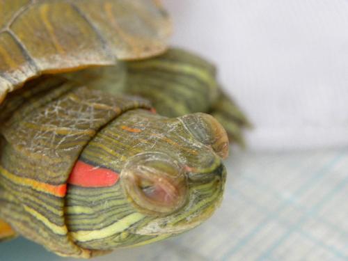 巴西龟白眼病是什么样子的(500x375,20k)-巴西龟白眼病图片 巴西龟