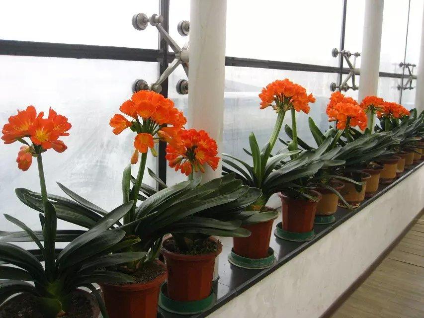 君子兰的种植季节