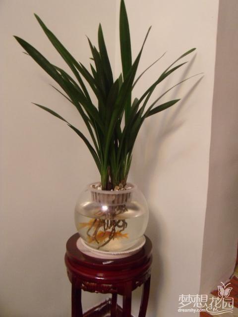 兰花水养殖方法