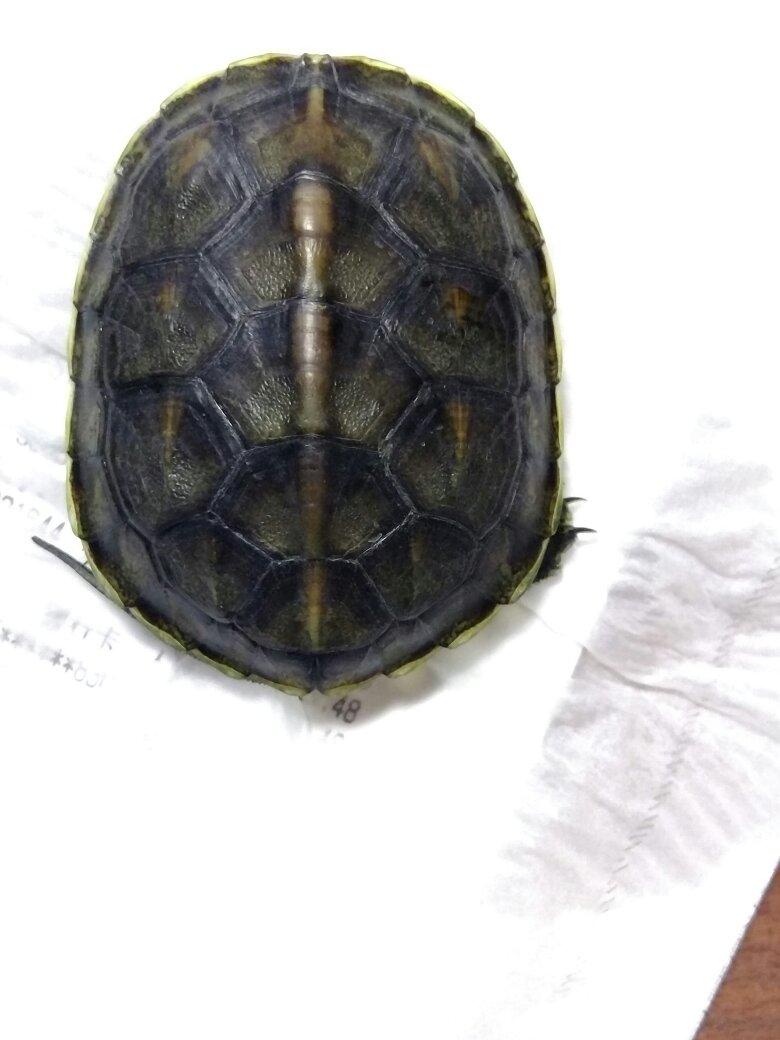 刚买了两只龟回来,奸商说是发财龟,查了一下学名上是没有这种叫法的.