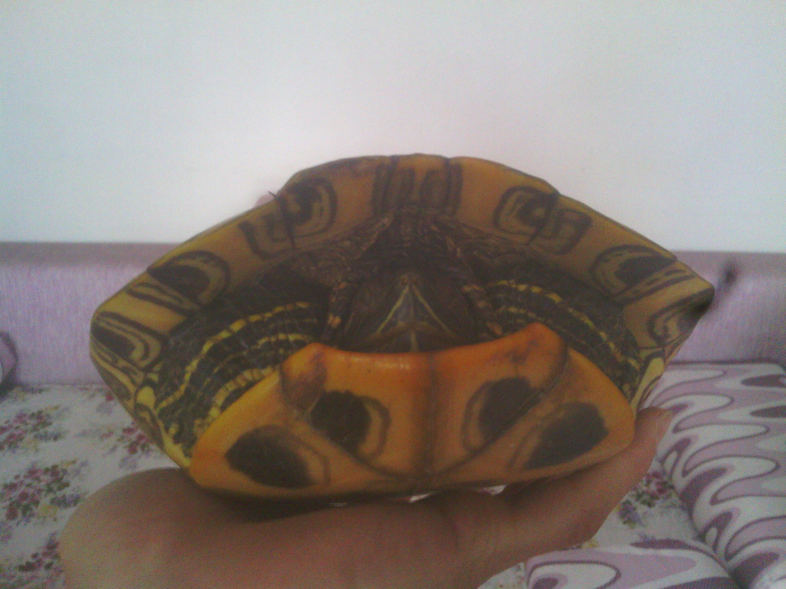害 巴西红耳龟冬眠