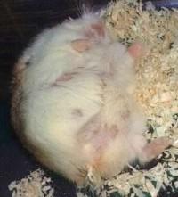 仓鼠怀孕的章鱼珠海活照片图片