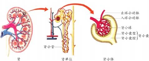 肾单位结构图怎么画图片