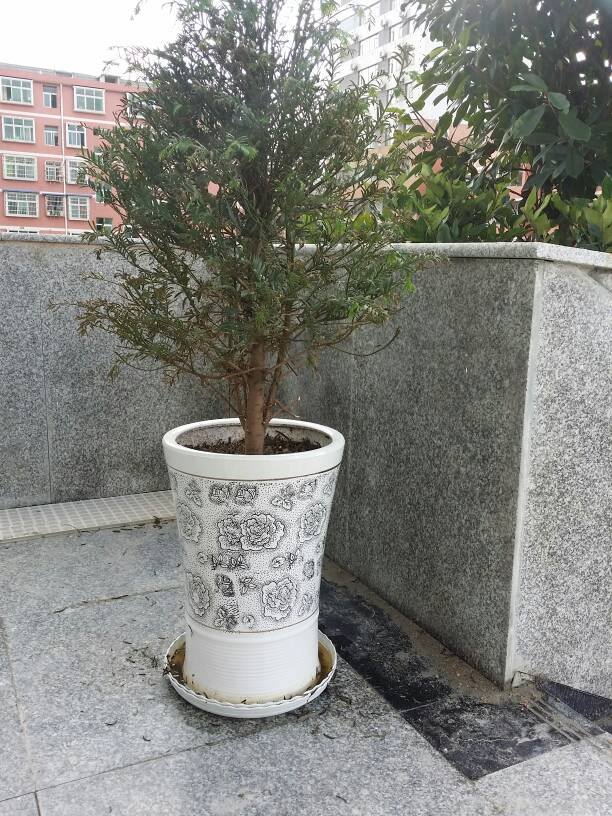 我的红豆杉成这样了,求高手支招,救救它!图片