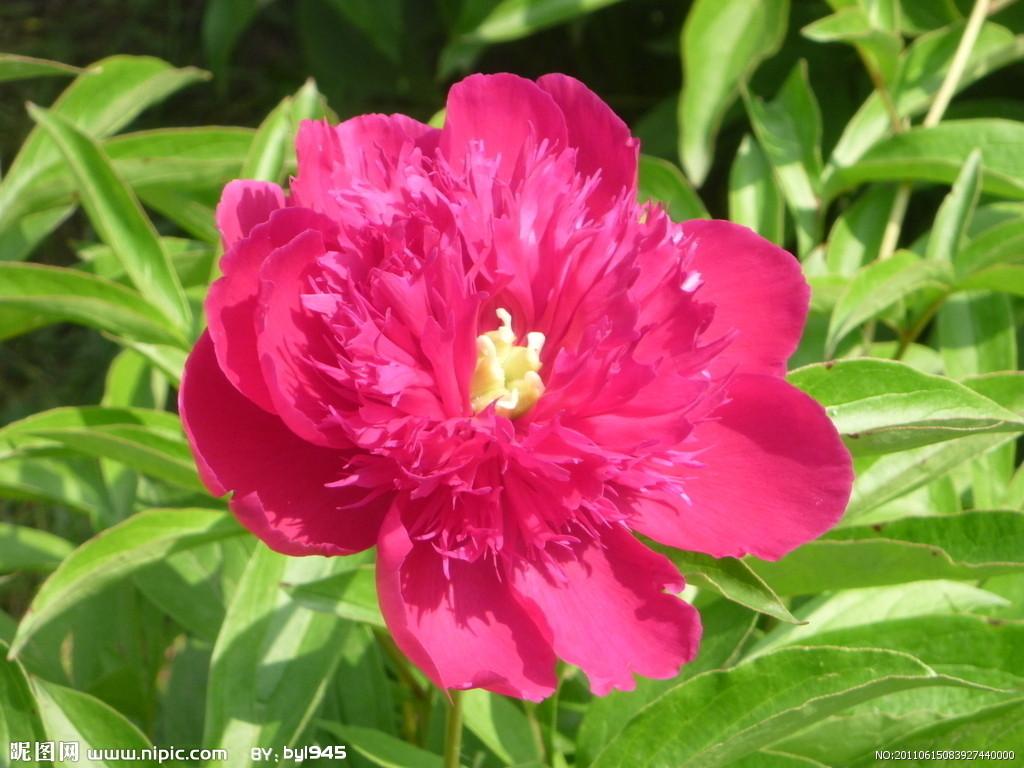 红色芍药花的样子