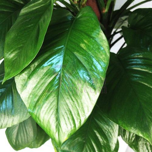 请问这种植物叫什么?叶子特别大很高.种在盆里得有两米高.有图
