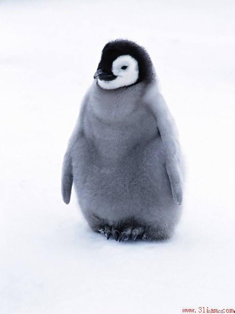 成年企鹅有多重