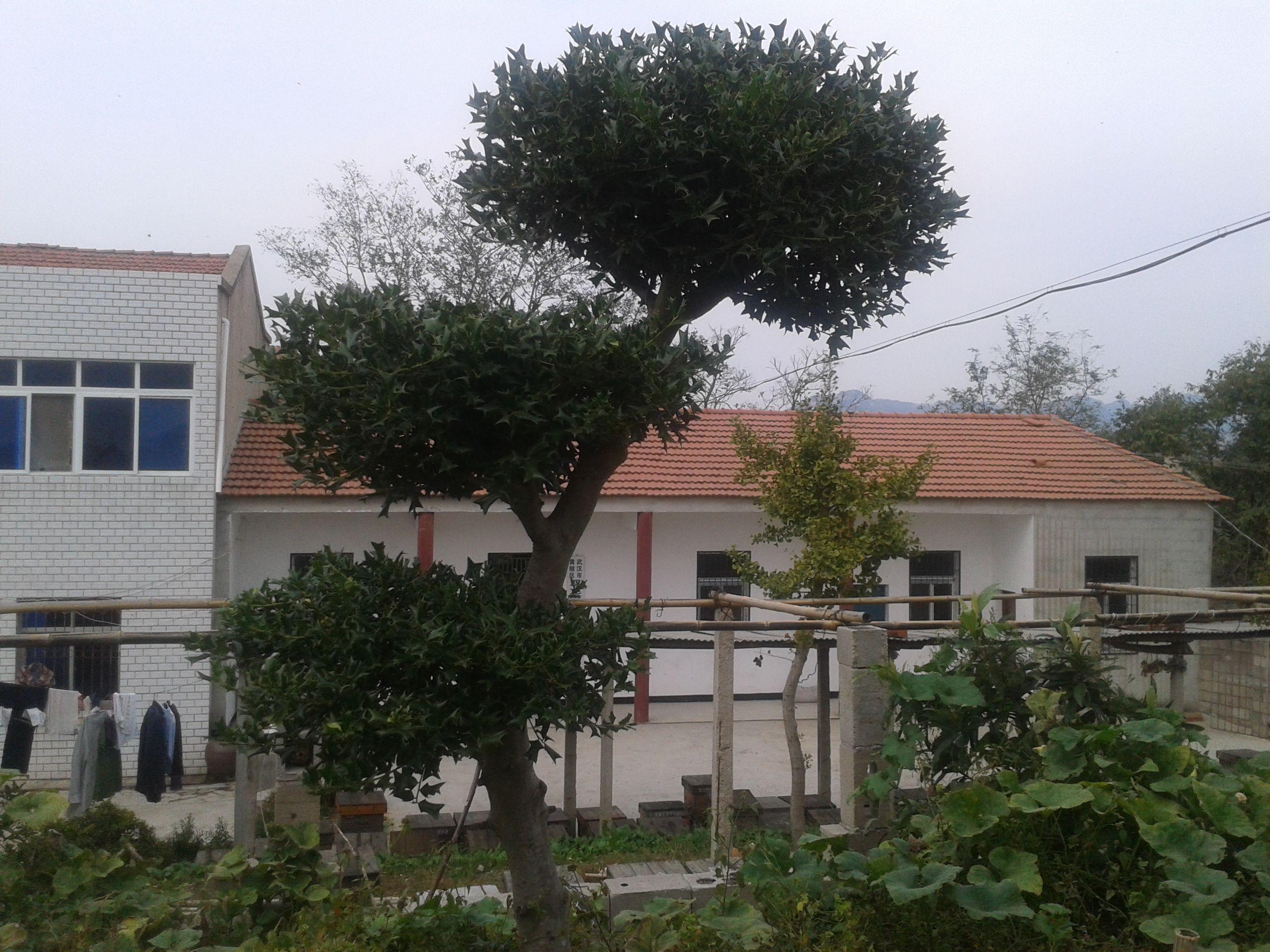 老鼠刺庭院观景树一株 能卖多少钱