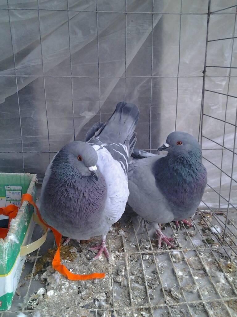 公鸽子和母鸽子外观有什么不同,需要怎么分辨图片
