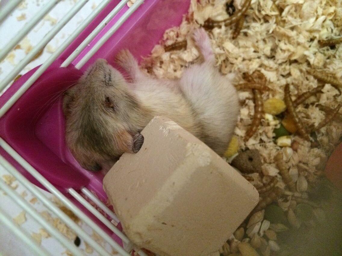 呜呜呜呜呜,我的仓鼠刚刚生完宝宝一星期,前几天还圆滚滚的,今天突然图片