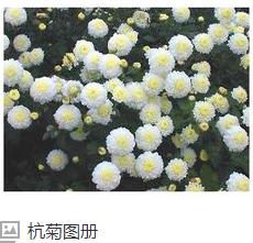 白菊花产地