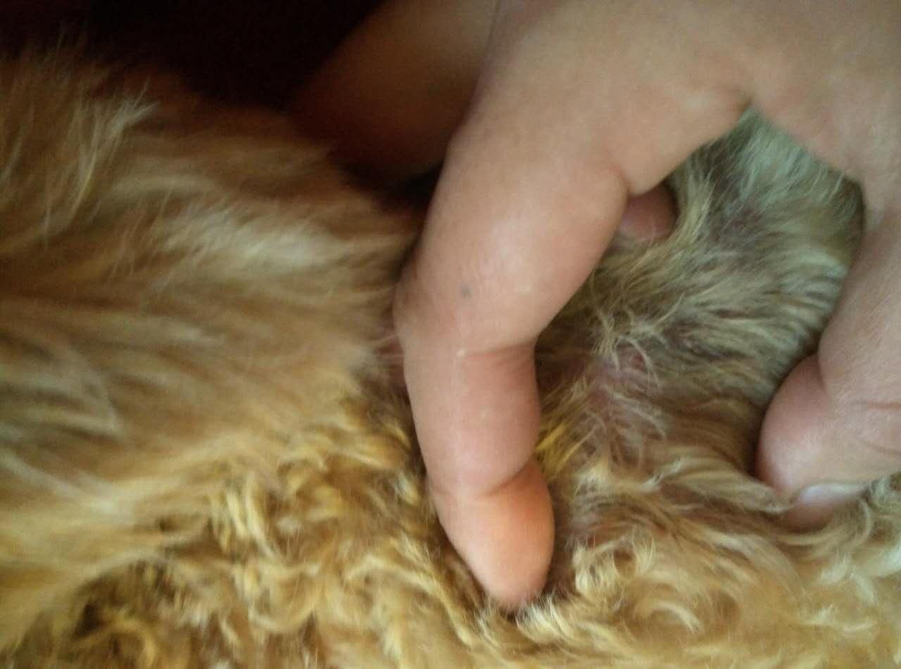 身上皮肤病囹�a�i)�aj_求救,狗狗身上有皮肤病!