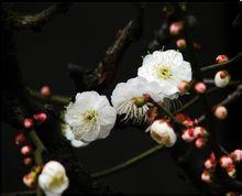 梅花的花瓣是什么味道
