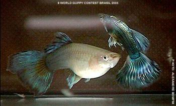 孔雀鱼怎么区分公母 孔雀鱼公母如何区分 孔雀鱼公母区分图解图片