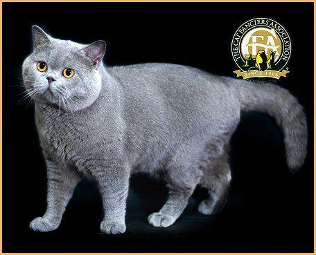 英短三花猫是什么颜色