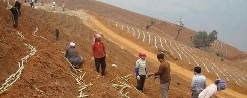 甘蔗种植周期