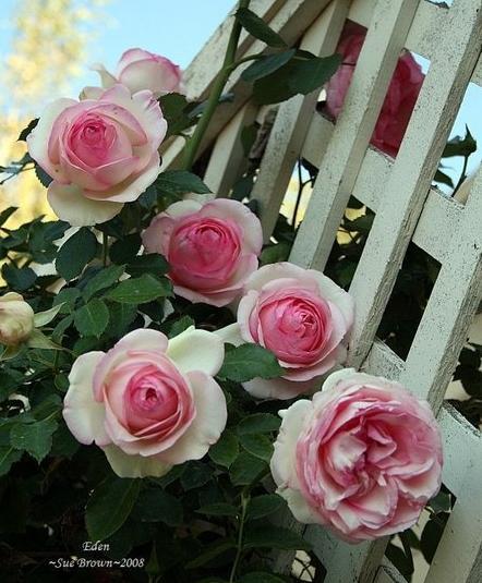 粉色龙沙宝石月季种植