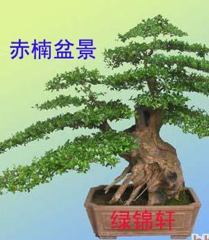 黄杨木嫁接什么树