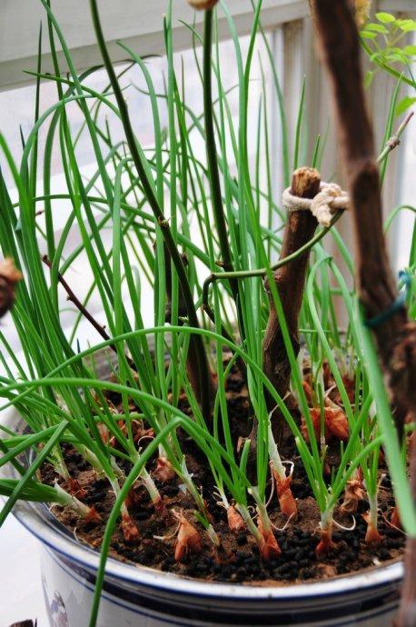 阳台小葱的种植方法