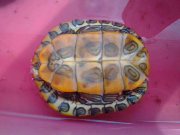我这只龟头两侧是色的