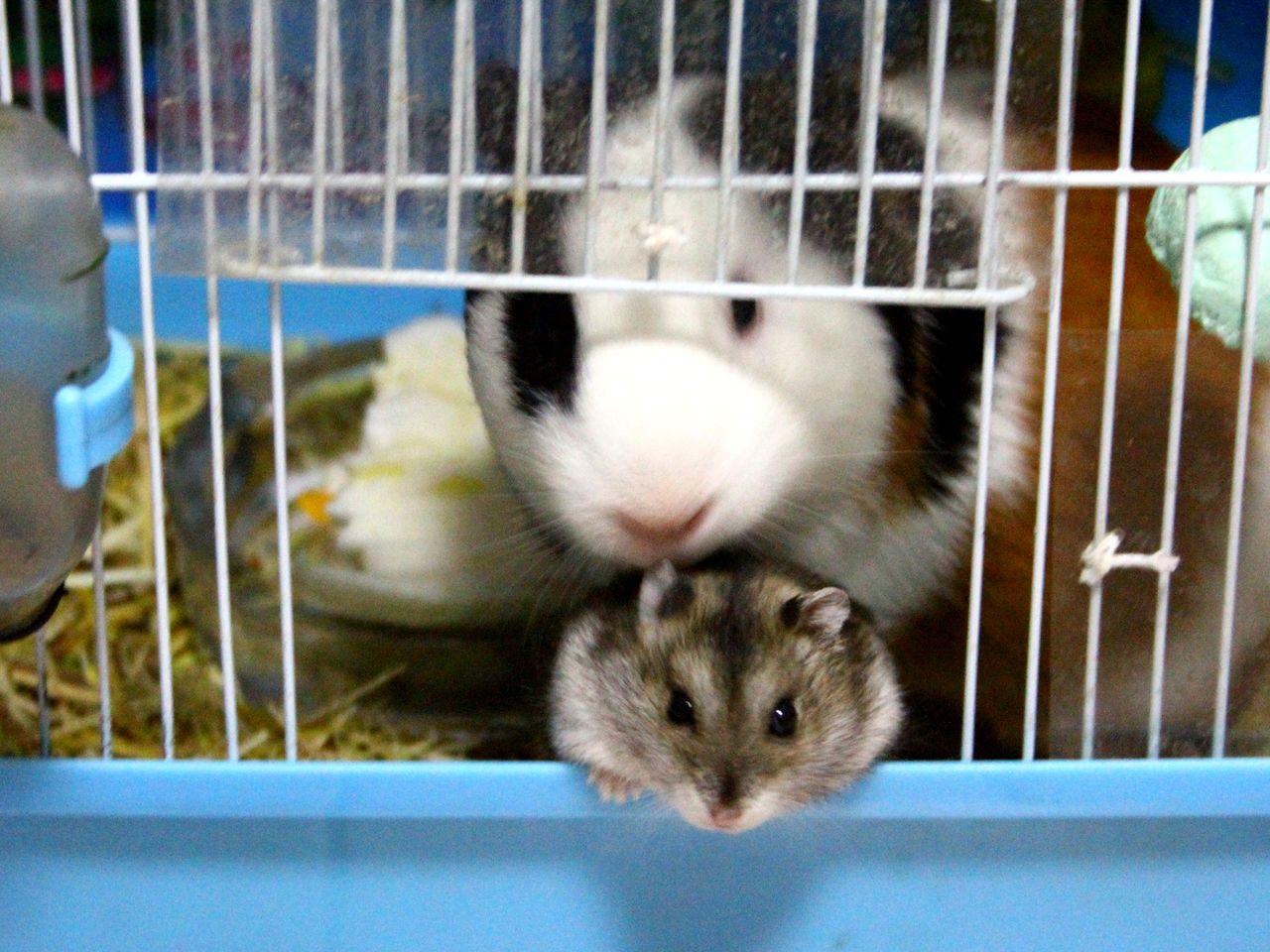 天竺鼠好养吗_宠物饲养的进(豚鼠,仓鼠; 宠物龙猫图片大全;