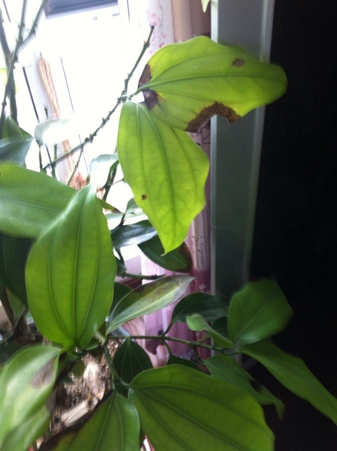 平安树叶子干枯照片 平安树的叶子干枯发黄 平安树叶子发黄的图片图片