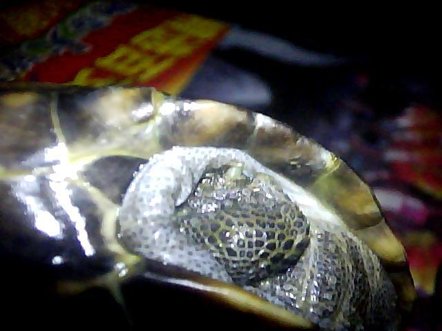 乌龟脱壳 乌龟脱壳的样子 梦见乌龟脱壳