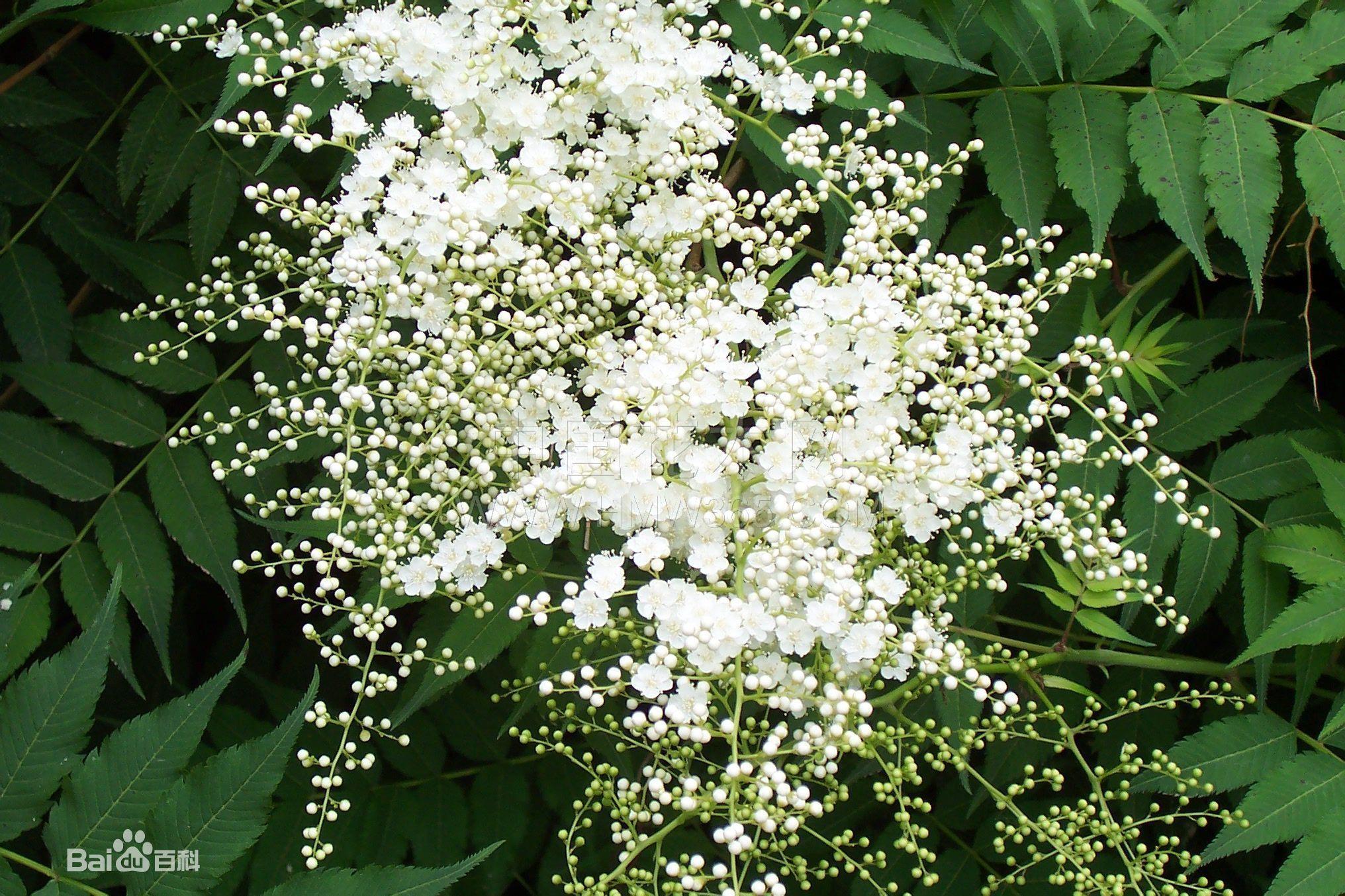 奈树香儿_这是什么树(香花树,灌木树),这是树枝上面开的花,很香