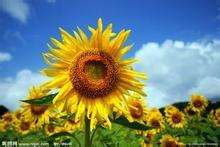 怎么介绍向日葵