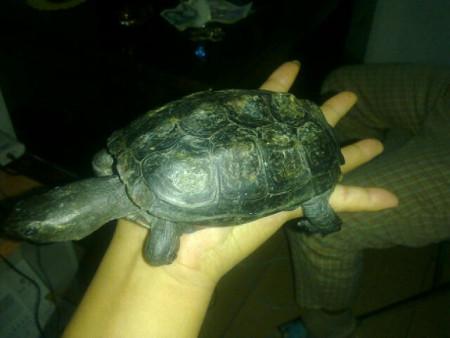 求鉴定乌龟品种,