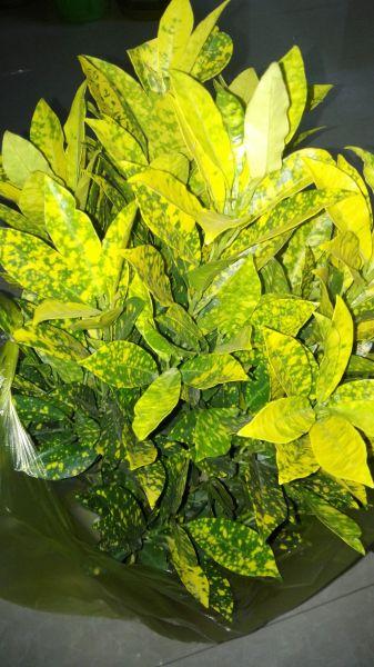 这个植物学名叫什么,商品叫遍地黄金