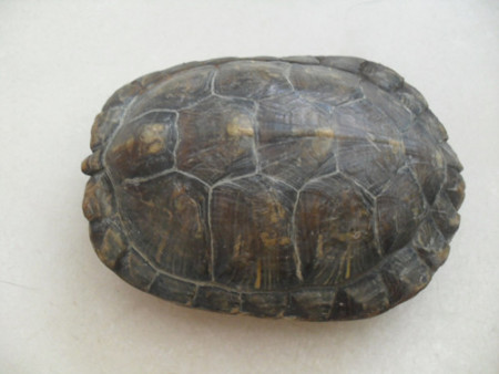求鉴定这乌龟的品种 怎么养吃什么