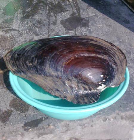 河蚌珍珠图片_河蚌清理步骤图解_最大河蚌_河蚌哪里 ...