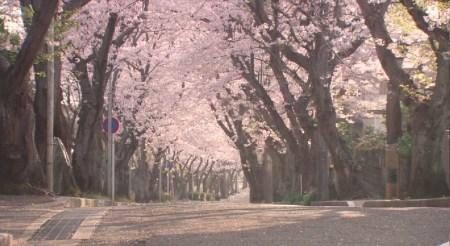 求一幅樱花树的图片!动漫的图片