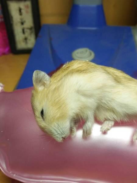 仓鼠窝_我家小仓鼠在窝里一动也不动,一开始我还以为它在睡觉