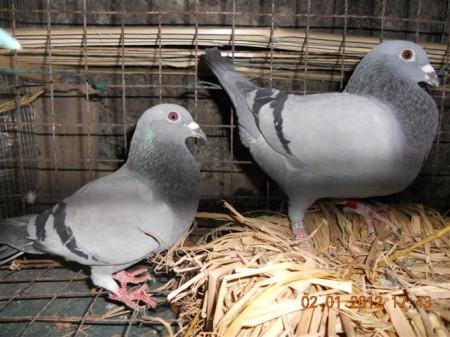 同问 鸽子配对和公母问题