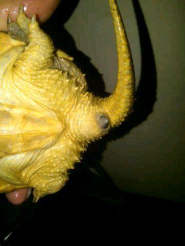 帮忙辨别下我的小鳄龟是公是母图片