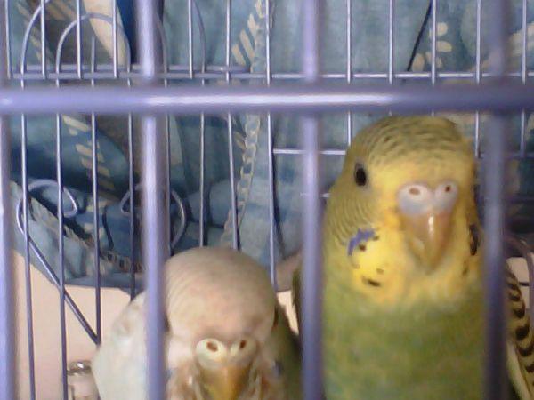我家的3只虎皮鹦鹉,分不清公母,求告知 高人帮忙图片