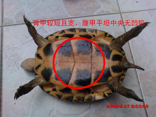 乌龟怎么分公母图解图片