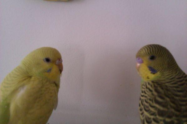 求 虎皮鹦鹉分辨公母 雌雄图片